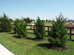 Eastern Red Cedars installed in a window formation to create a privacy screen.