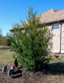 Eastern Red Cedar installed by Treeland Nursery.
