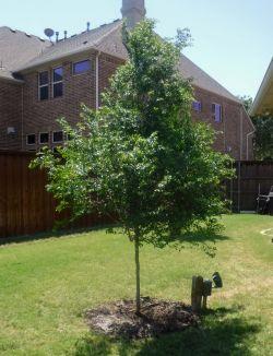 Lacebark Elm tree installed by Treeland Nursery.