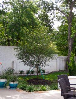 Lacebark Elm tree installed in North Texas by Treeland Nursery.