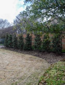 Little Gem Magnolias planted by Treeland Nursery to create a privacy screen.