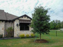 Live Oak tree installed by Treeland Nursery in a frontyard.