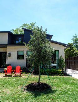 Live Oak tree installed by Treeland Nursery in North Texas.