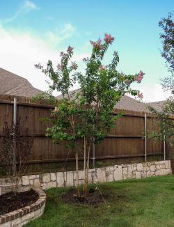 Muskogee Crape Myrtle installed in a backyard by Treeland Nursery.