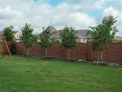 Muskogee Crape Myrtles installed in a backyard by Treeland Nursery.