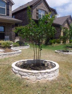 Miss Frances Crape Myrtles installed in tree rings in the frontyard.