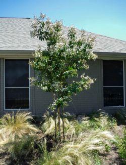 Natchez Crape Myrtle installed by Treeland Nursery.