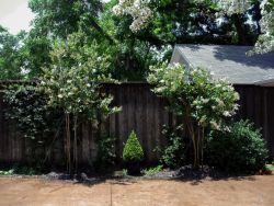 Natchez Crape Myrtles installed along a driveway by Treeland Nursery.