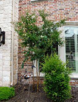 Natchez Crape Myrtle installed in a frontyard by Treeland Nursery.