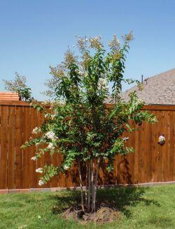 Natchez Crape Myrtles installed in a backyard by Treeland Nursery.