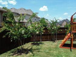 Row of Natchez Crape Myrtles installed in a backyard by Treeland Nursery.