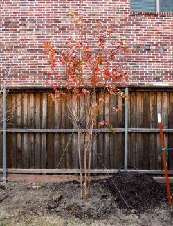 Mature Natchez Crape Myrtle installed during the Fall.