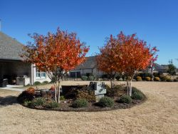 Mature Natchez Crape Myrtles photographed during the Fall.