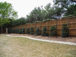 Nellie R Stevens Hollies planted in a row to create a privacy screen.