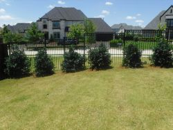 Nellie R Stevens Hollies planted along a wrought iron fence to create a privacy screen.