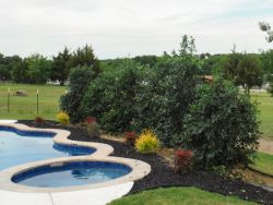 Nellie R Stevens Hollies installed along a pool by Treeland Nursery.
