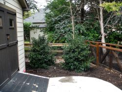 Nellie R Stevens Hollies installed by Treeland Nursery.