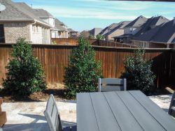 Nellie R Stevens Hollies planted along a patio to create a privacy screen.