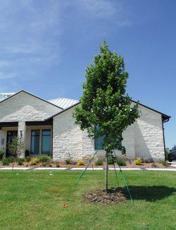 October Glory Maple installed by Treeland Nursery.