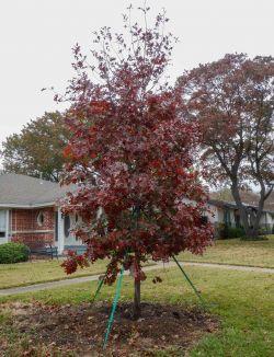 Red Oak installed by Treeland Nursery in the Fall.