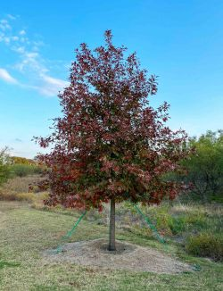 Red Oak photographed during the Fall at Treeland Nursery.