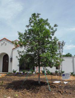 Red Oak installed by Treeland Nursery.