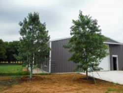 Red Oaks installed by Treeland Nursery.