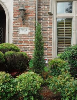 Eastern Red Cedars 'Taylor' installed in a flower bed.