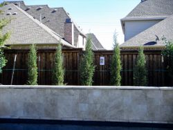 Eastern Red Cedars 'Taylor' installed in a narrow bed.