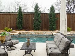 Eastern Red Cedars 'Taylor' installed between a pool and fence.